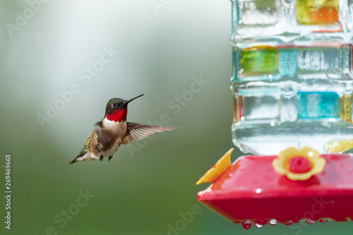 Fotografie, Tablou Ruby Throated Hummingbird in flght at feeder