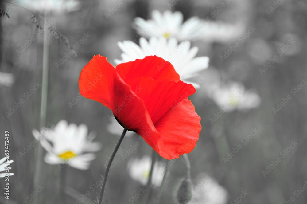 Rote Mohnblume schwarz weißer Hintergrund