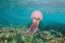Beautiful Jellyfish Underwater In Mediterranean Sea, Mauve Stinger Pelagia Noctiluca