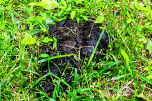 A Pile Of Black Bear Scat Droppings On A Trail