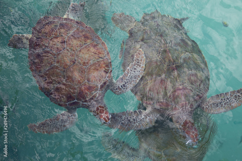 Obraz na plátně Two full body endangered sea turtles swimming together at water surface in prese