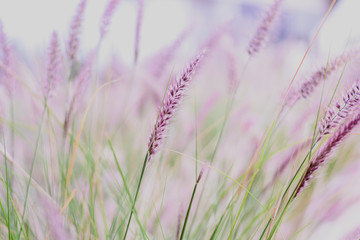 Panel Szklany Podświetlane Minimalistyczny Plumes of delicate grass Pennisetum advena rubrum of pink tones for feminine minimalist background.