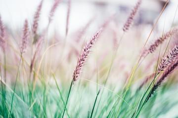 Obraz na Szkle Minimalistyczny Plumes of delicate grass Pennisetum advena rubrum of pink tones for feminine minimalist background.