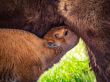 "Closeup Of Young ""red Dog"" Bison Nursing At Rocky Mountain Arsenal National Wildlife Refuge"