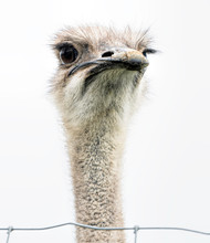 An Ostrich Head Closeup With The Bird Staring Front On.