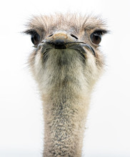 An Ostrich Head Closeup Front On Showing Its Large Eyes And Beak.