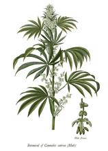 Cannabis Sativa Male Tree Bota...