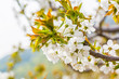 Spring outdoors, blooming white cherry flowers