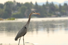 Great Blue Heron On A Pier