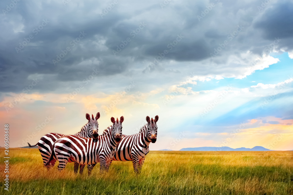 Fototapety, obrazy: Group of zebras in the African savanna against the beautiful sky with clouds at sunset. Free space for text.