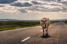 Cow Walking On The Asphalt Road To The Horizon Backlit By Sunset Sun In Steppe At Khakassia, Russia.