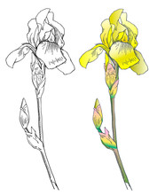 Graphic The Branch Flower Yellow Iris