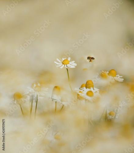 Aryan honey bee nature natural Daisy Wallpaper Mural