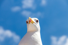 Seagull On Background Of Blue ...