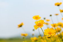 Coreopsis Flower Blooming Clos...