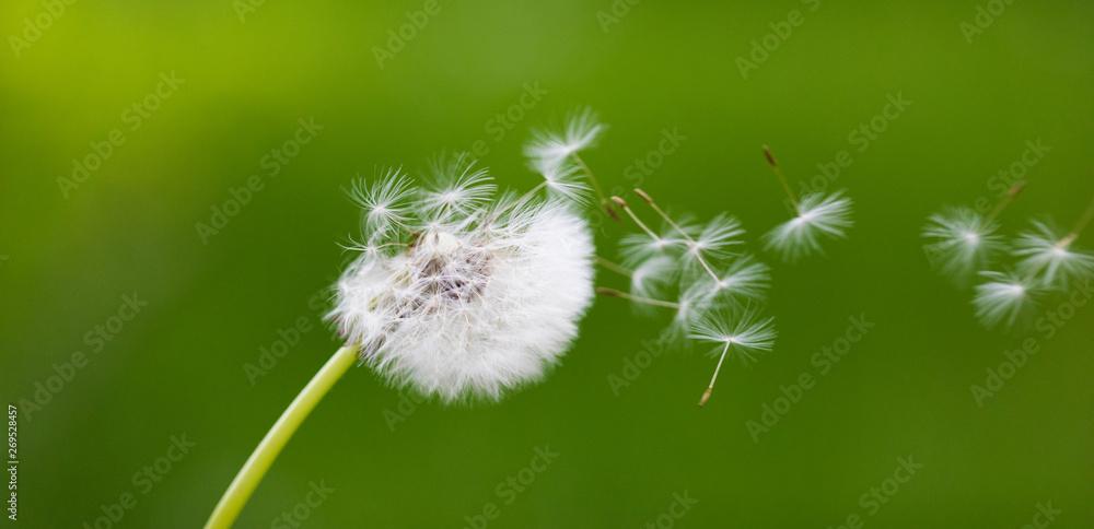 Fototapety, obrazy: Dandelion flying on green background
