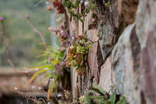 Succulents Growing Out Of Ston...