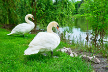 Mute Swans On Guard With Adorable Cygnets Sleeping At The Edge Of An Island In Alexandru Ioan Cuza Park, Bucharest, Romania, An Urban Park With A Lake. Springtime In The City.