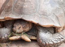 Giant Tortoise Eating Grass