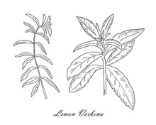 Lemon Verbena Tea Herb Isolated On White Background.