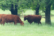 Red Angus Bull And Cow In A Sp...