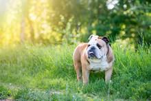 English Bulldog Lying On The G...