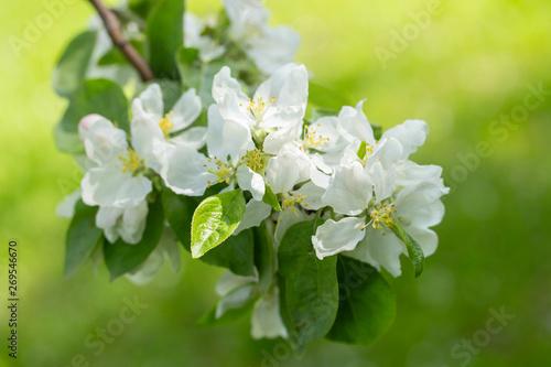Obrazy kwiat jabłoni   kwitnienie-galaz-jabloni-tlo-zielona-trawa-biale-kwiaty-platki-jabloni-ogrodowe-drzewa-owocowe