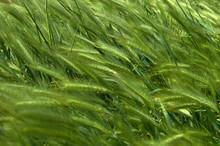 Green Ears In The Field Bend In The Wind