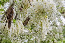 Black Locust Flowers. White Flowers Of Acacia Hanging From Tree Branches