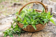Common Nettle Harvest. Basket ...