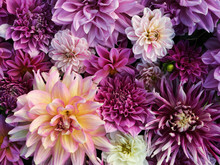 Many Beautiful Blooming Dahlia Flowers, Floral Summer Background. Colorful Dahlias In Full Bloom