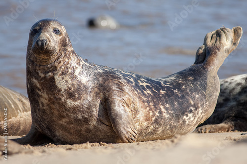 Fototapeta Adult grey seal (Halichoerus grypus), Marine mammal wildlife portrait image