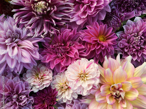 Cadres-photo bureau Dahlia Many beautiful blooming dahlia flowers, floral summer background. Colorful dahlias in full bloom