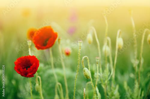Beautiful poppies - 269555226