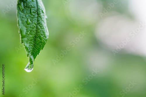 Fotografija  A drop of rain on a wet green leaf of apple_