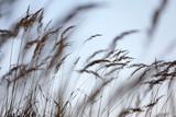 Silhouette von wilden Gräsern wie gemalt im Gegenlicht der Sonne als Close up - 269559823