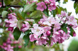Close-up of apple tree flowers. Lush Pink branch of apple-flowers in spring. Beautiful spring blossom on green bokeh background.