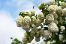Closeup Of Guelderrose Shrub Branch Covered With Blossom Against Blue Sky