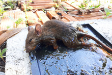 Dead Rat Trapped In Glue Mouse Trap