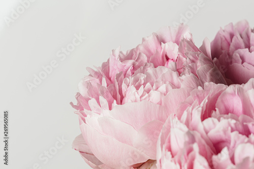 Pink peony flower in bloom macro still petal texture
