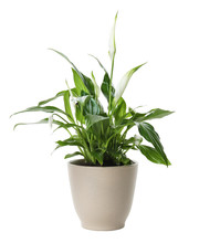 Pot With Spathiphyllum Home Plant On White Background