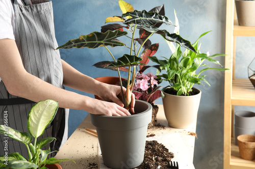 Fotografia Woman transplanting home plant into new pot at table, closeup