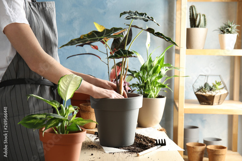 Deurstickers Planten Woman transplanting home plant into new pot at table, closeup