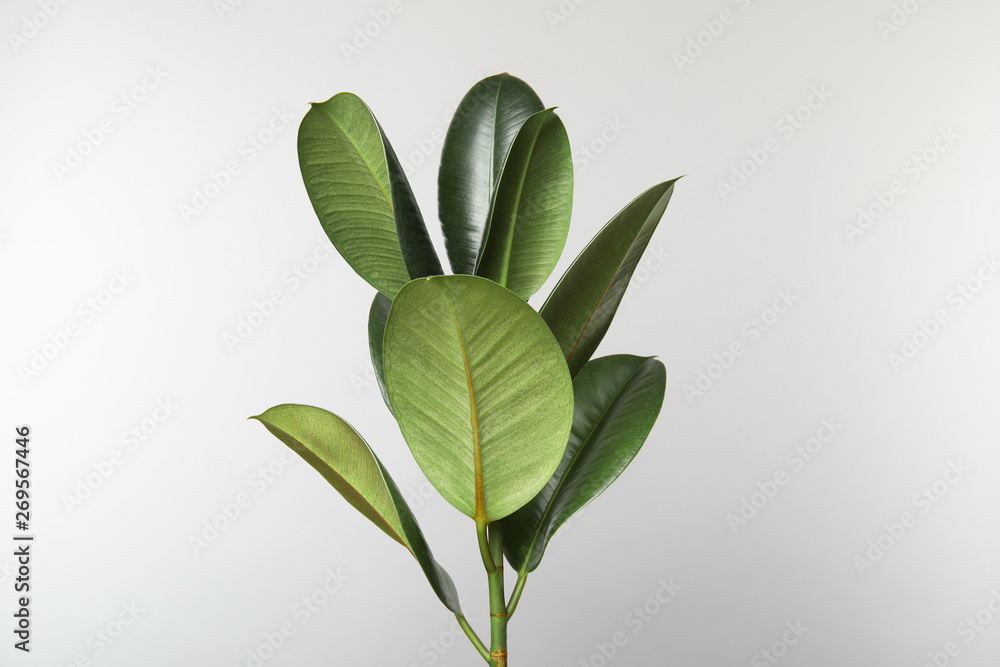 Fototapety, obrazy: Beautiful rubber plant on white background. Home decor