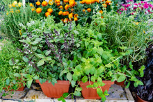 Herbs And Vegetables In The Pots