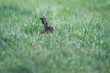 Hare sitting in meadow with tall grass.