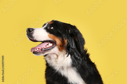 Foto op Canvas Hond Funny Bernese mountain dog on color background