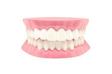 Dental Teeth Model Isolated On White