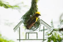Baya Weaver Male Bird Building Nest With Green Grass Strips
