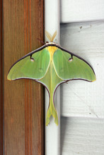 Close-up Of A Large Luna Moth,...